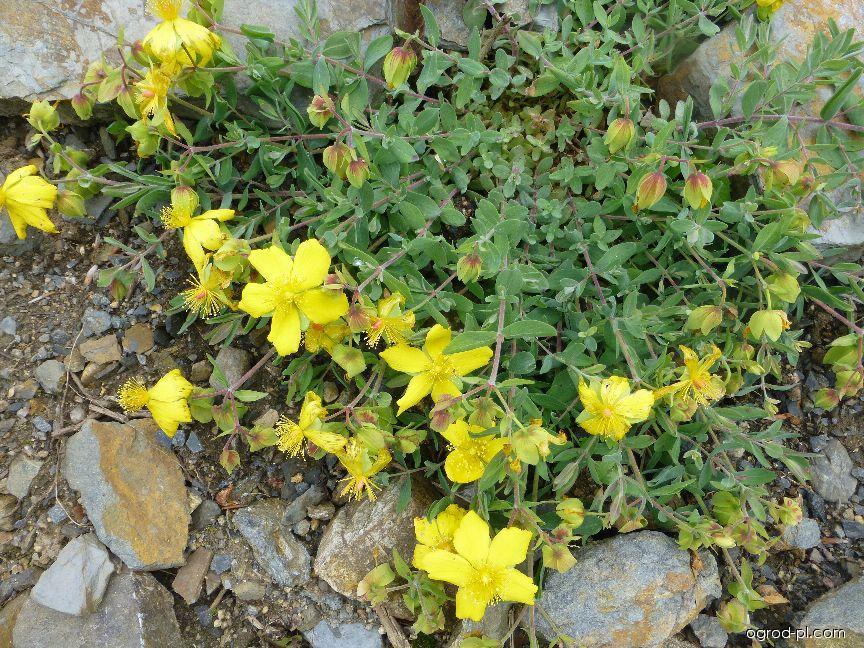 Třezalka (Hypericum cerastoides)