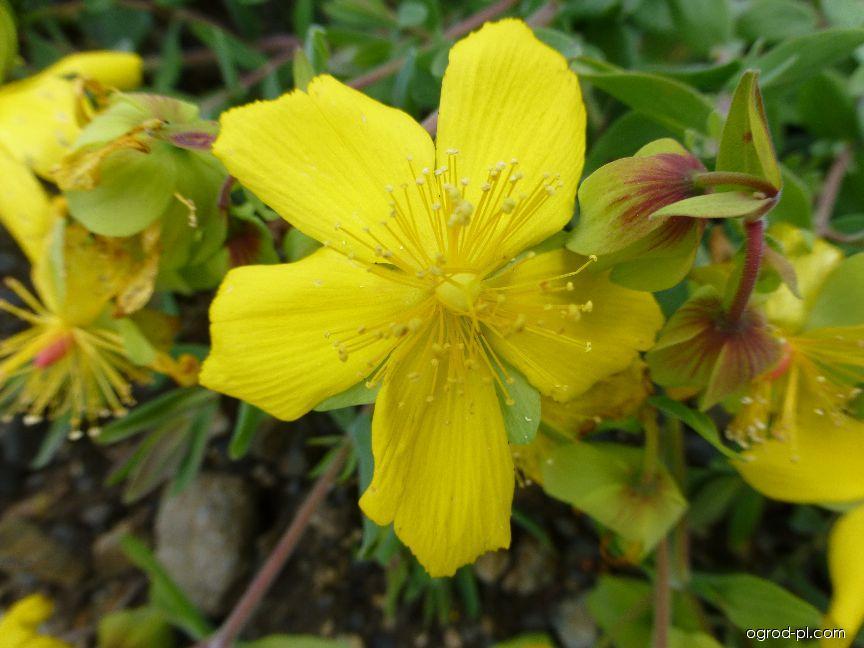 Třezalka - květ (Hypericum cerastoides)