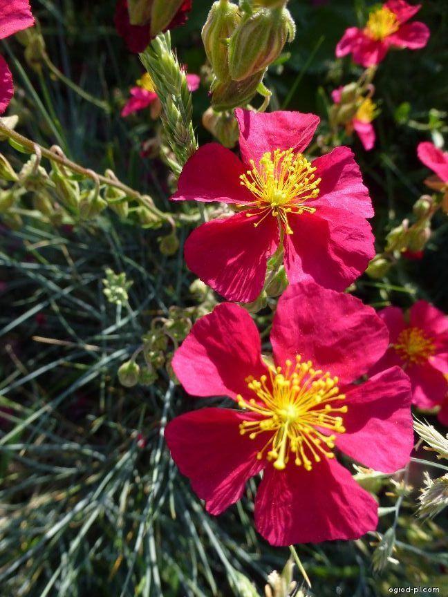 Devaterník - květ (Helianthemum)