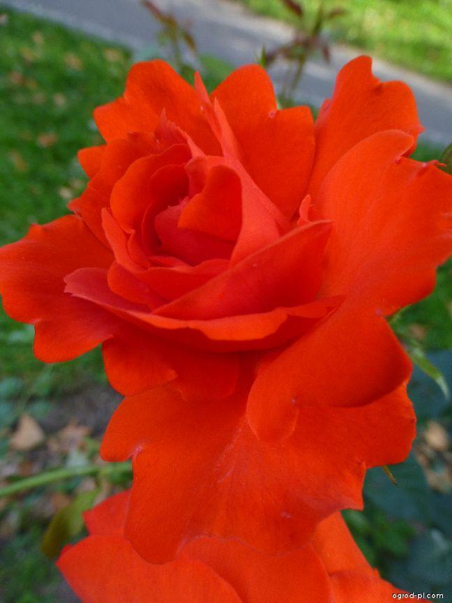 Róża - Rosa Kordes Brilliant