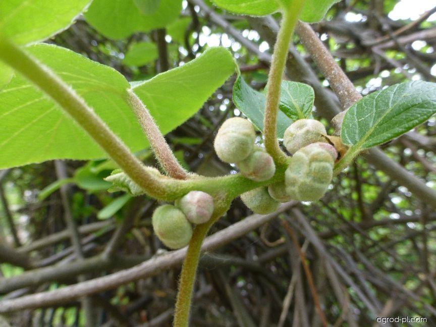 Aktinidie čínská - poupata (Actinidia chinensis)