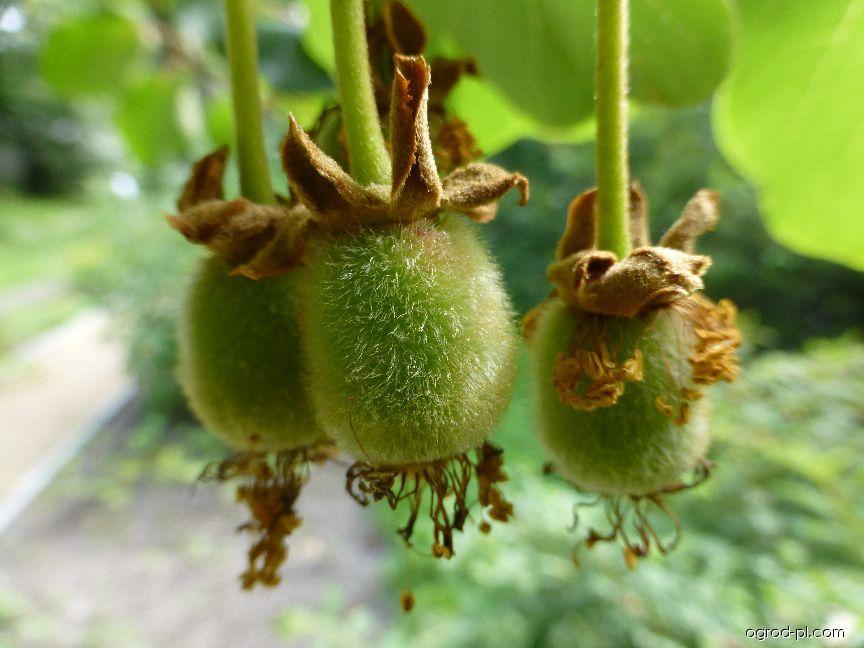 Aktinidie čínská - nezralý plod (Actinidia chinensis)