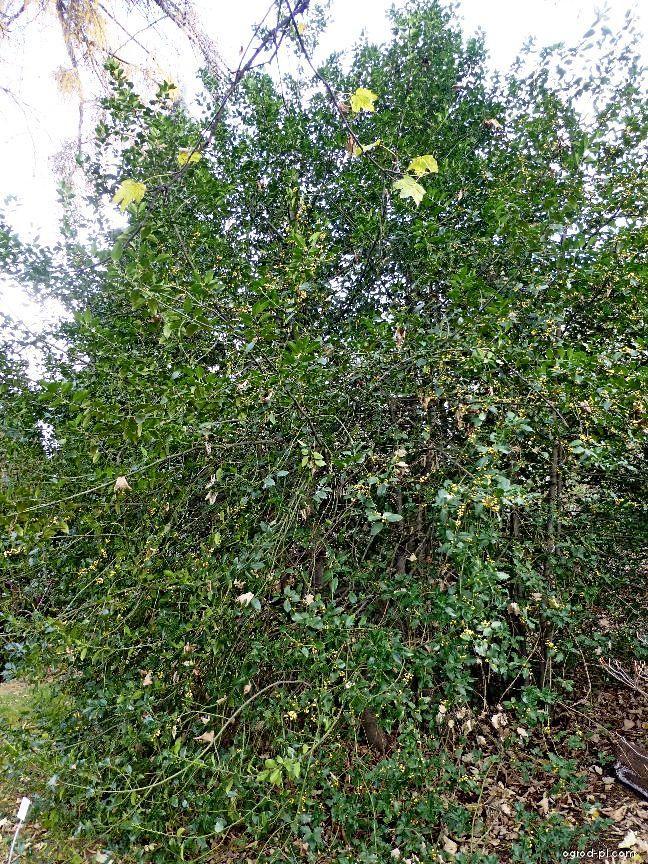 Cesmína ostrolistá (Ilex aquifolium f bacciflava)
