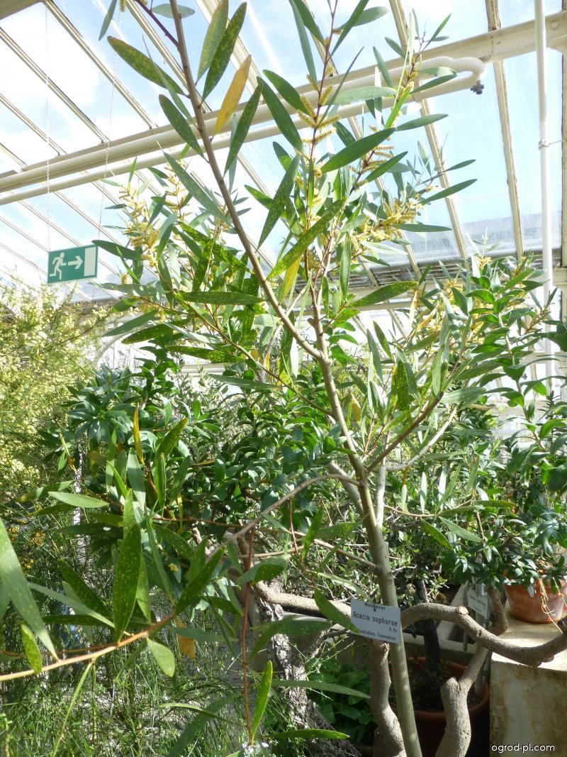 Akácie (Acacia sophorae)