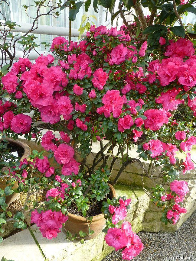 Pěnišník Mme Petrick (Rhododendron simsii)