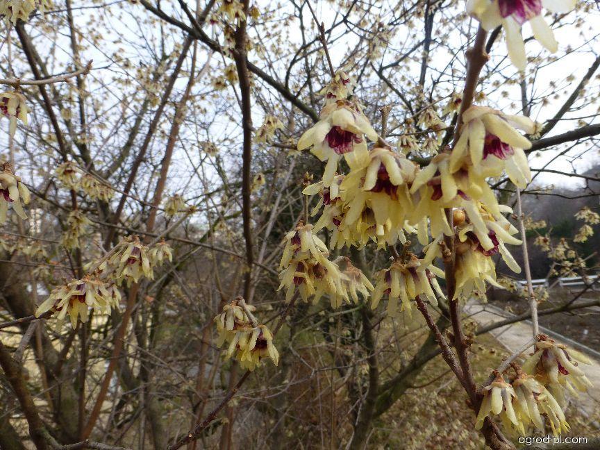 Zimnokvět časný (Chimonanthus praecox)