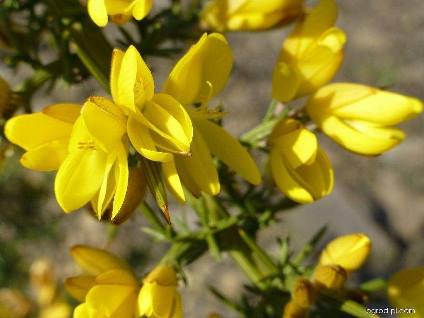Hlodáš evropský - květ (Ulex europaeus)