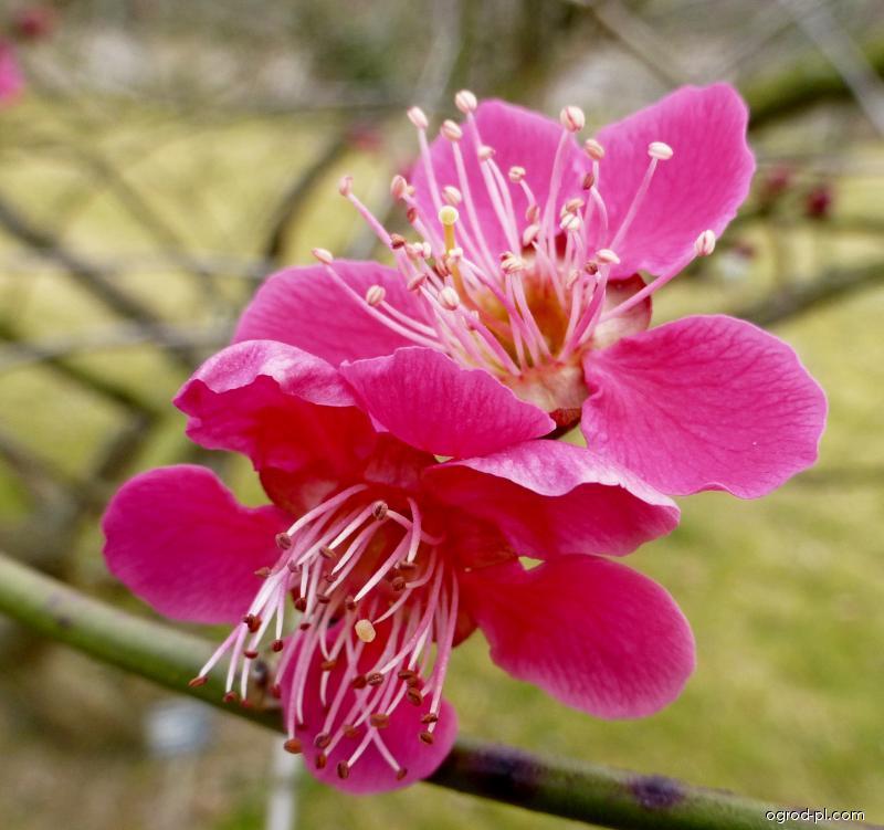 Morela japońska - Prunus mume Benishidore