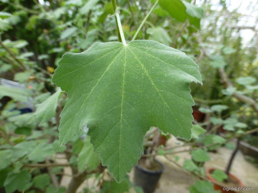 Slézovec přímořský - list (Lavatera maritima)