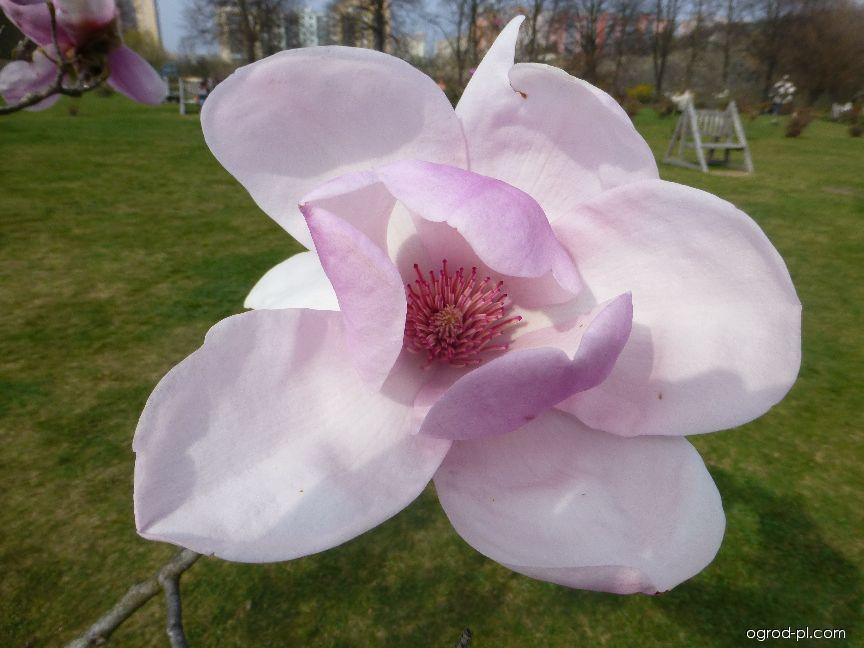 Magnolia pośrednia - Magnolia x soulangeana Coates