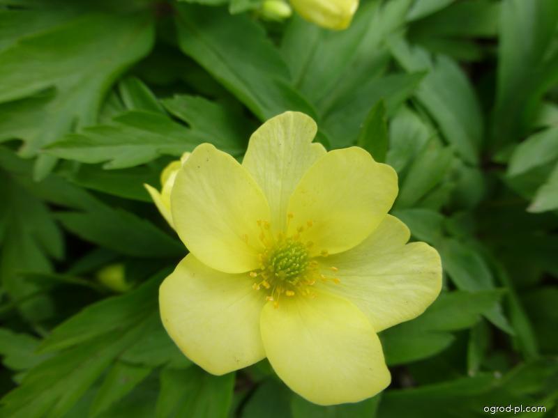Sasanka Pallida - květ (Anemone x lipsensis)
