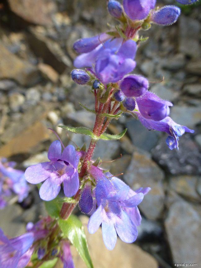 Dračík - květ (Penstemon virens)