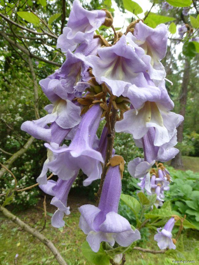 Paulovnie plstnatá - květ (Paulownia tomentosa)