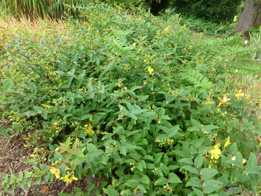 Třezalka Hookerova Hidcote (Hypericum hookerianum)