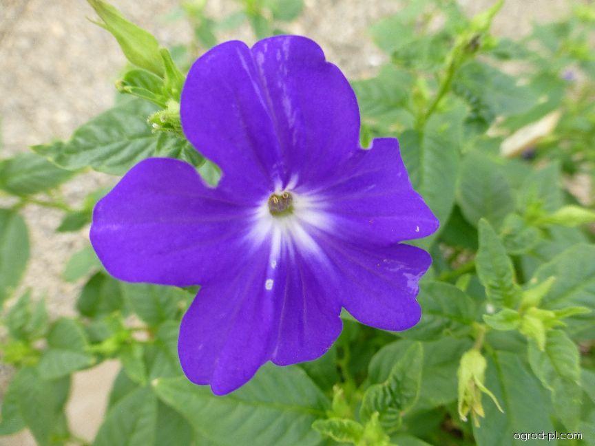 Broválie - květ (Browallia speciosa)