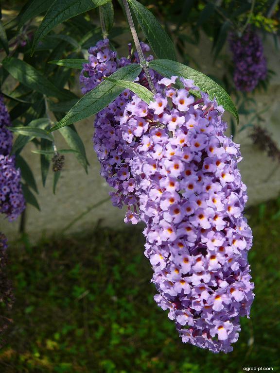 Komule Davidova - květ (Buddleia davidii)