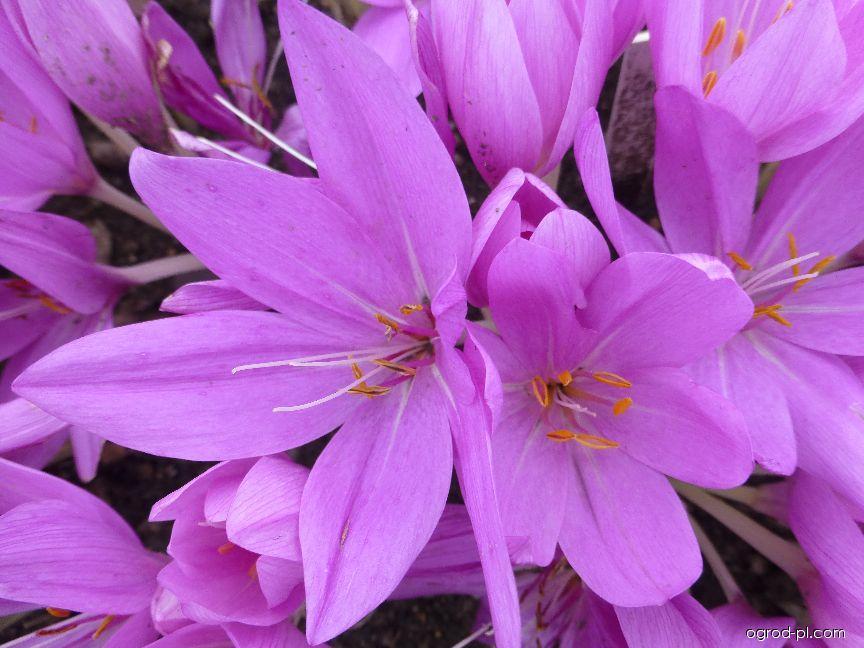 Ocún ozdobný - květ (Colchicum speciosum)