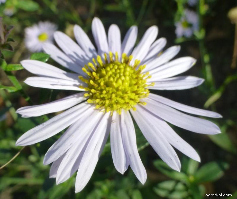 Kalimeris Madiva - květ (Kalimeris incisa)