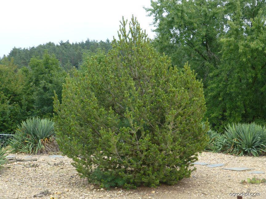 Borovice jedlá (Pinus edulis)