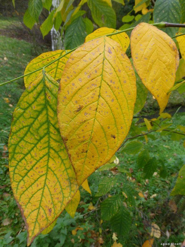 Strączyn żółty - Cladrastis kentukea