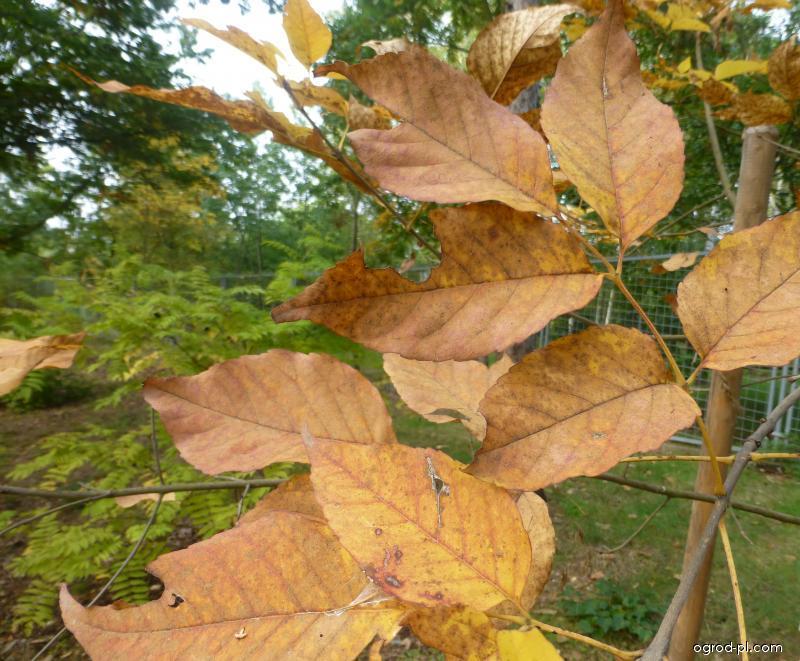 Jasan zobanolistý - podzimí zbarvení (Fraxinus chinensis subsp rhynchophylla)