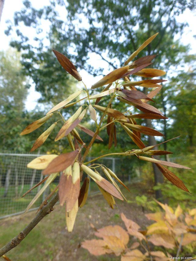Jasan zobanolistý - plod (Fraxinus chinensis subsp rhynchophylla)