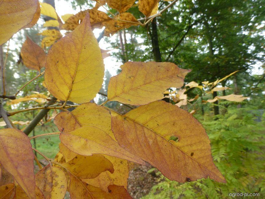 Jasan zobanolistý - podzimní zbarvení (Fraxinus chinensis subsp rhynchophylla)
