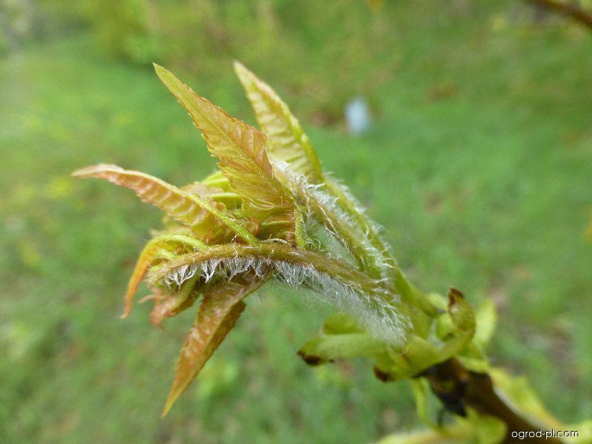 Platykaryje šišticovitá - mladý list (Platycarya strobilacea)