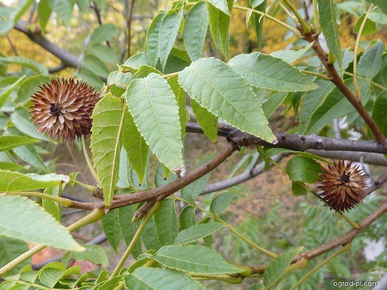 Platykaryje šišticovitá - větévka se zralými plody (Platycarya strobilacea)