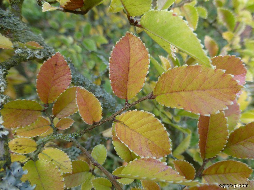 Jilm čínský Geisha - podzimní zbarvení (Ulmus parvifolia)