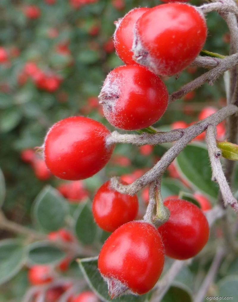 Skalník - plod (Cotoneaster applanatus)