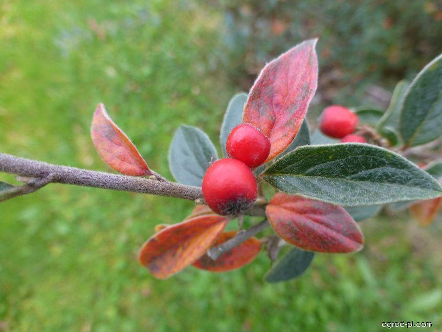 Skalník - větévka s listy a plody (Cotoneaster yuii)