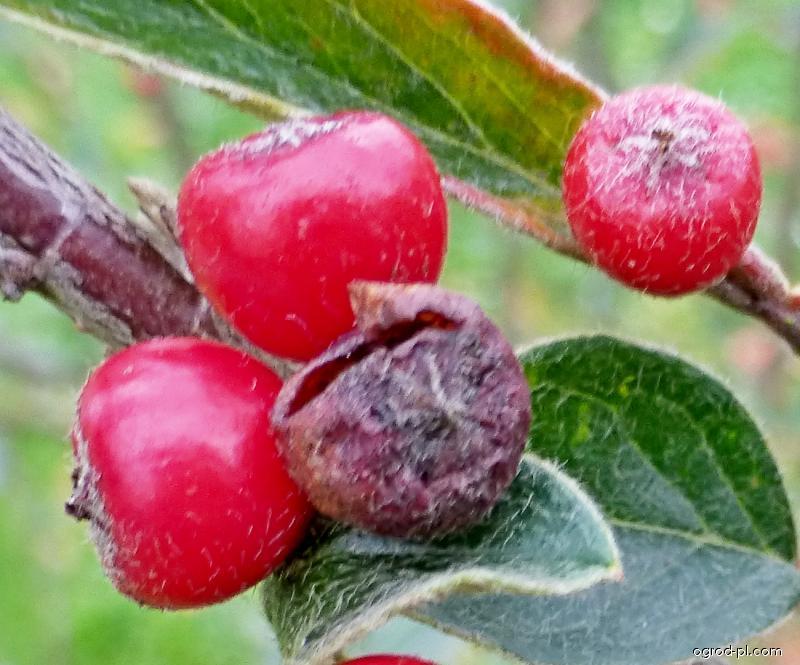 Skalník - plod (Cotoneaster yuii)