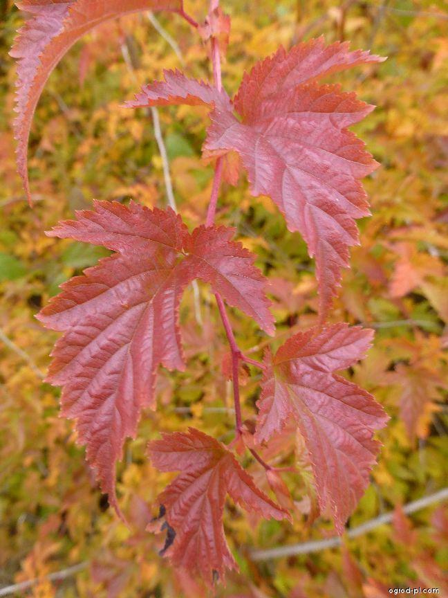 Korunatka klaná - podzimní list (Stephanandra incisa)