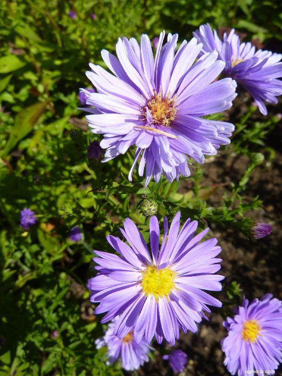 Aster nowobelgijski - Symphyotrichum novi-belgii Royal Blue