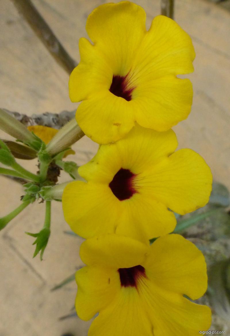 Unkarina - květ (Uncarina decaryi)
