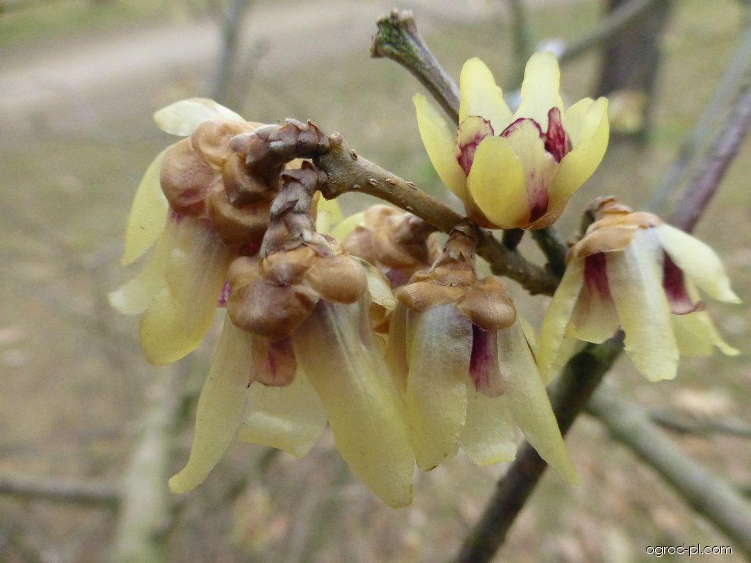 Zimokwiat wczesny - Chimonanthus praecox