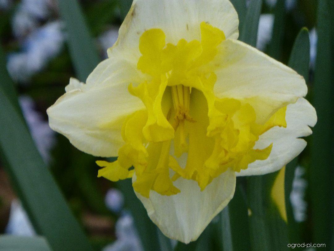 Narcyz - Narcissus Printal