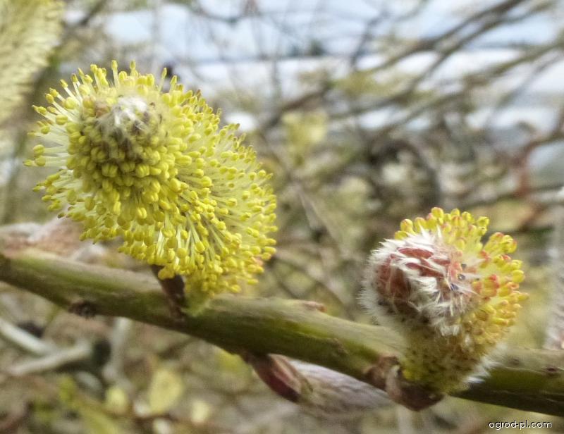 Vrba sachalinská Sekka - větěvka s jehnědy (Salix sachalinensis)