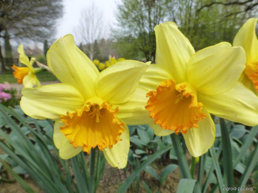 Narcissus Fortissimo (narcyz)