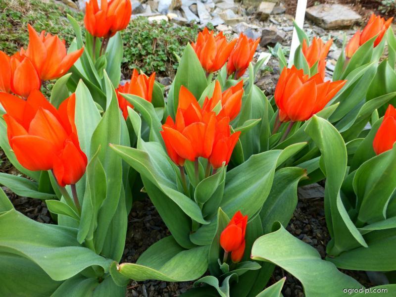Tulipan dostojny - Tulipa praestans