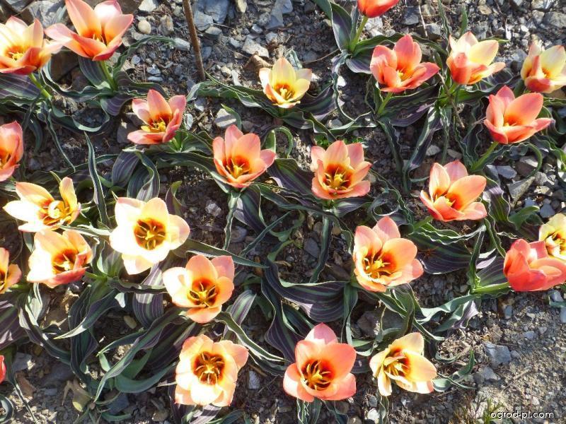 Tulipán Greigův Girlfriend (Tulipa greigii)