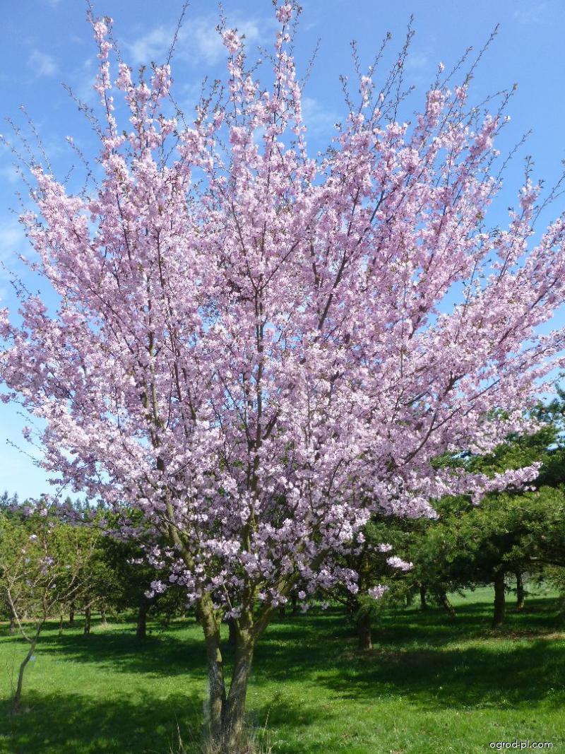 Slivoň vyříznutá - habitus v květu (Prunus incisa)
