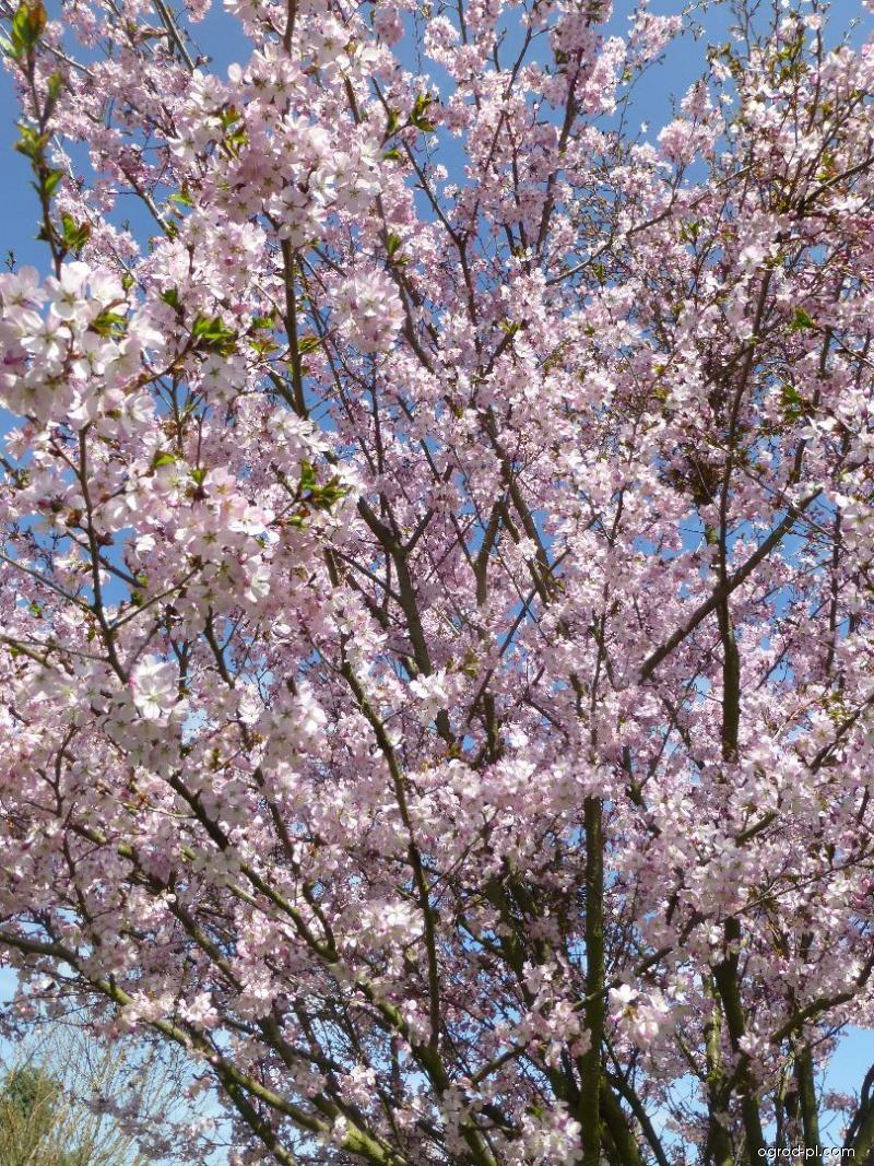 Slivoň vyříznutá (Prunus incisa)