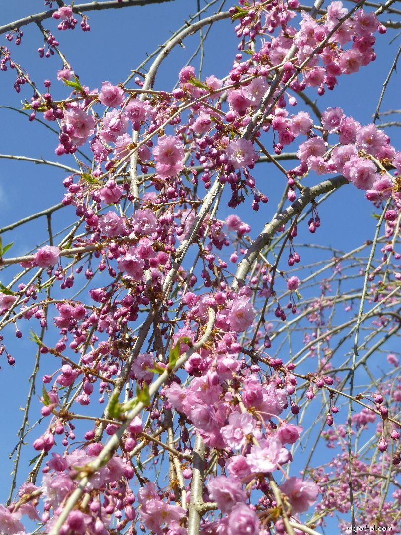 Wiśnia różow - Prunus subhirtella Pendula Plena Rosea
