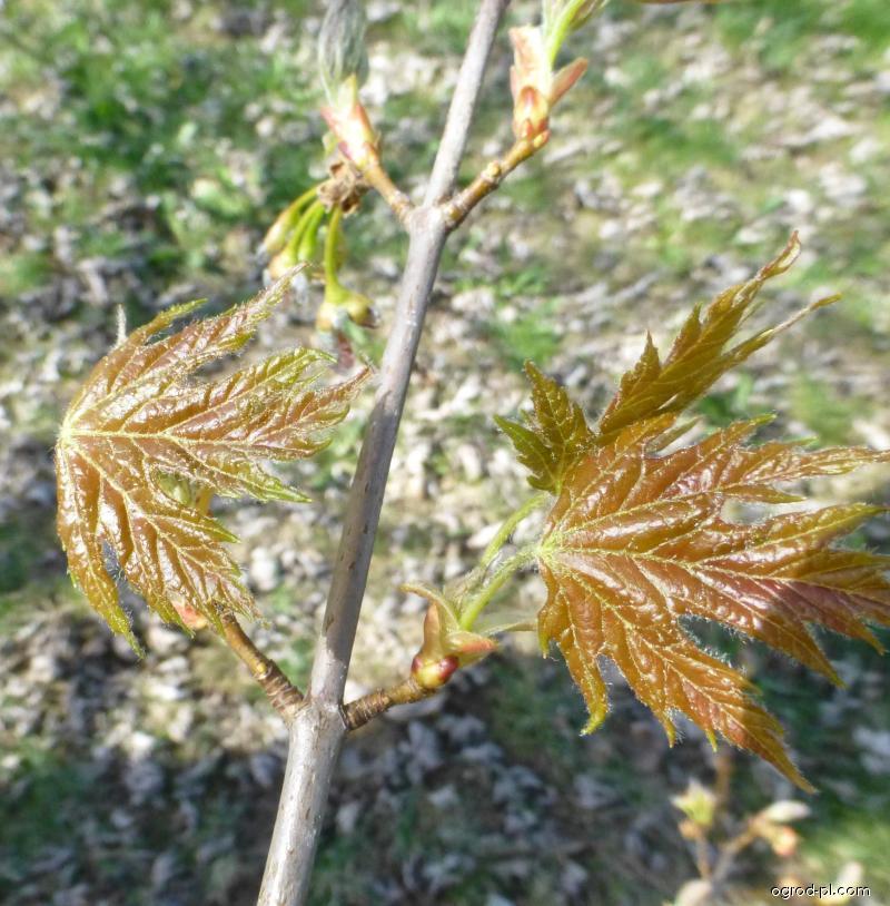 Klon srebrzysty - Acer saccharinum Pyramidale