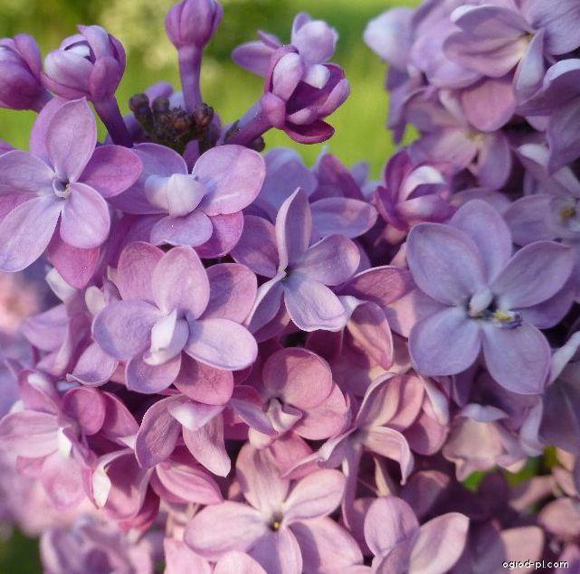 Lilak pospolity - Syringa vulgaris Comte de Kerchove