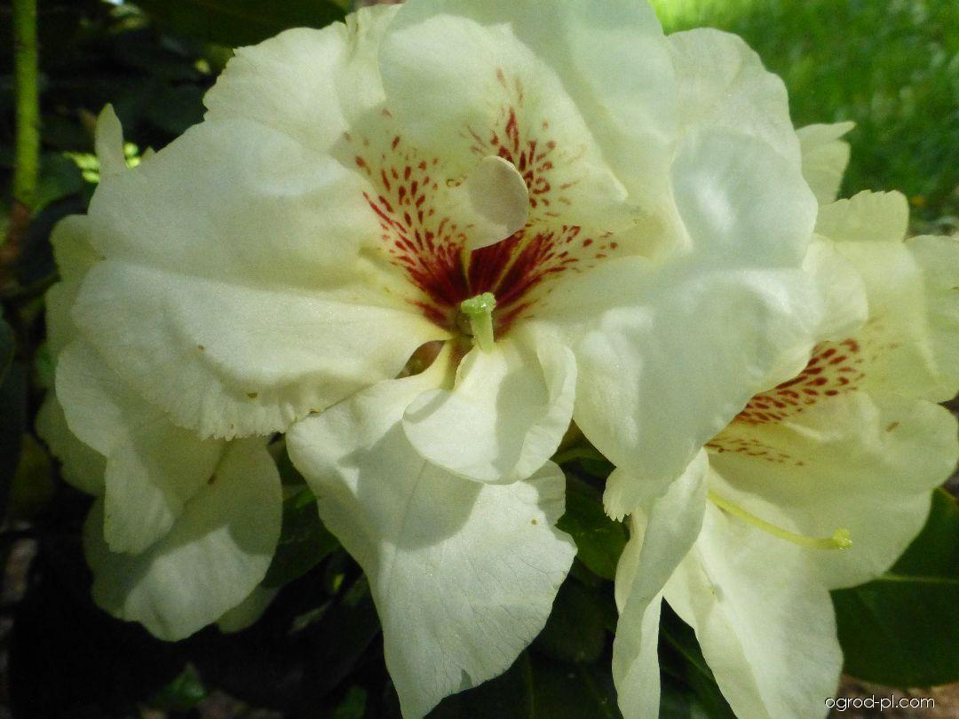 Pěnišník Goldbukett (Rhododendron)