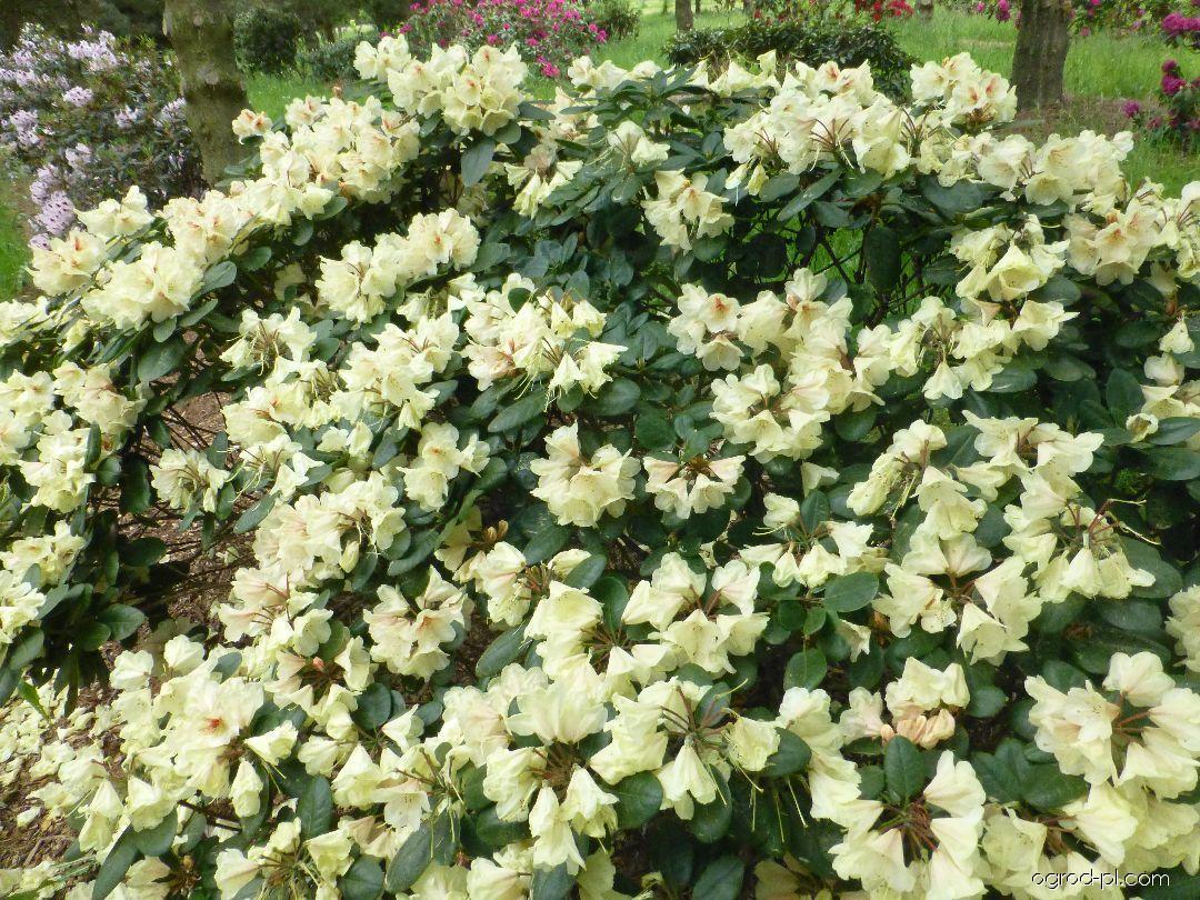 Pěnišník Goldbukett - Rhododendron (Rhododendron)