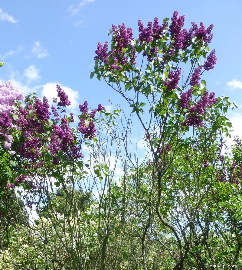 Lilak pospolity - Syringa vulgaris Charles Joly